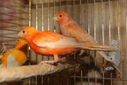 Птенцы кенарята