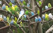 Волнистые попугаи разного окраса