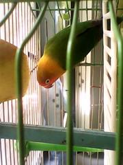 попугаи неразлучники пара готовые для высаживания яиц молодые ........